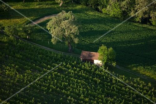 A vineyard and a barn in Austria