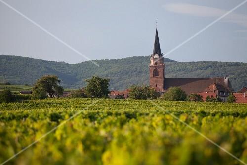Vineyards near Bergheim