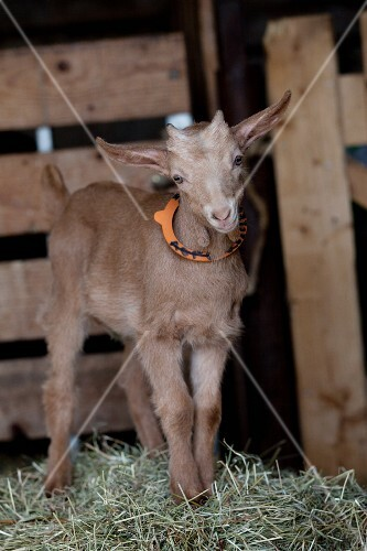 Baby goat standing on straw