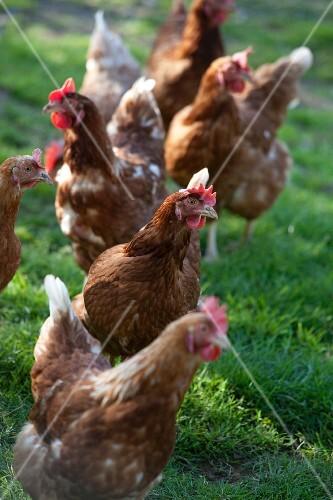 A hen in the field