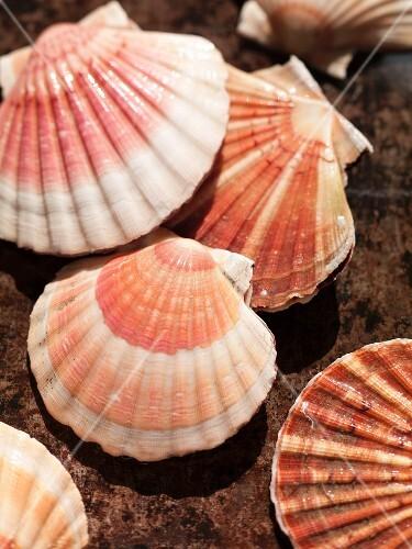 Two scallop shells