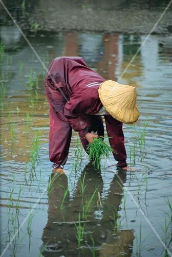 A rice farmer planting rice; Hualien, Taiwan