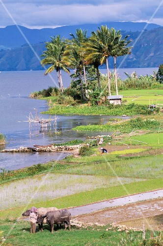 Lake Toba, the largest lake in South East Asia with rice paddies, Sumatra, Indonesia
