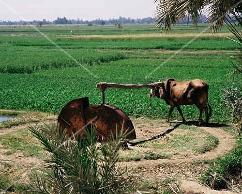 An irrigation system powered by animals, Egypt, North Africa