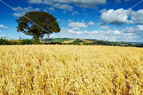 Ripe oats in an English landscape, Thorverton, Devon, England