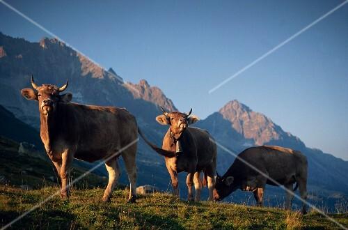 Cows grazing against an imposing mountain backdrop, St. Gotthard Pass, Switzerland