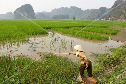 A woman fishing in the rice fields at Tam Coc; Ninh Binh area, Vietnam