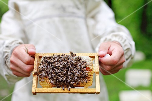 A bee keeper holding a honey comb covered in bees