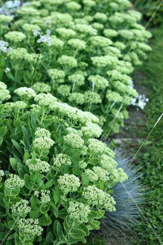 Sedum shortly before flowering