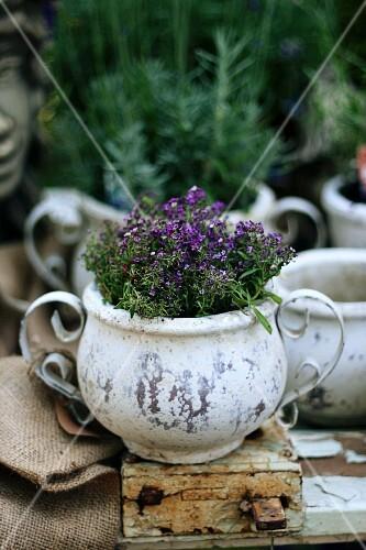 Planter of flowering thyme