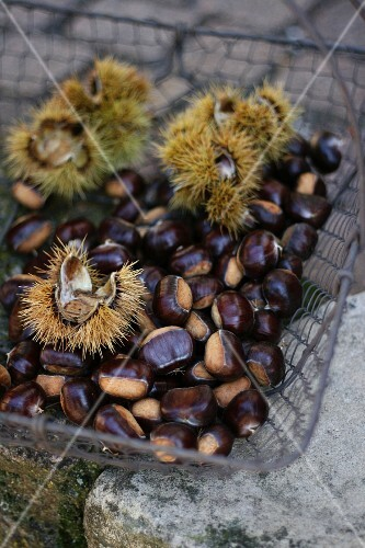 Edible chestnuts in a wire basket