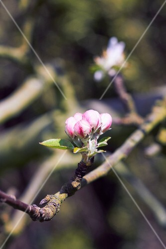 Apple blossom on a tree