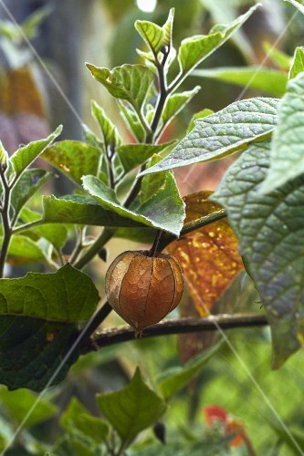 A physalis plant (close-up)