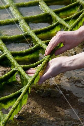 Algae garden on the island of Okinawa, Japan (algae being harvested at low tide)