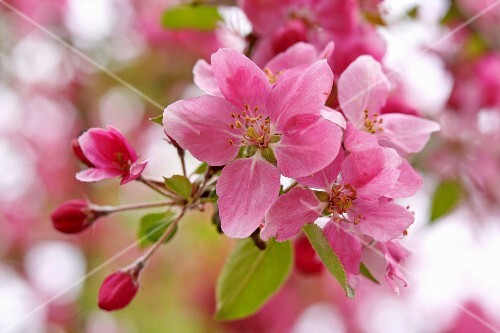 Pink crab apple blossom (close-up)