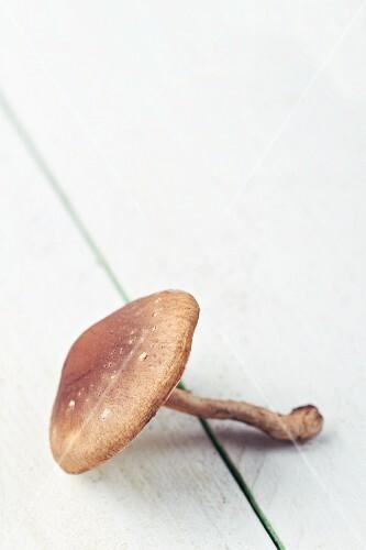 A fresh porcini mushroom