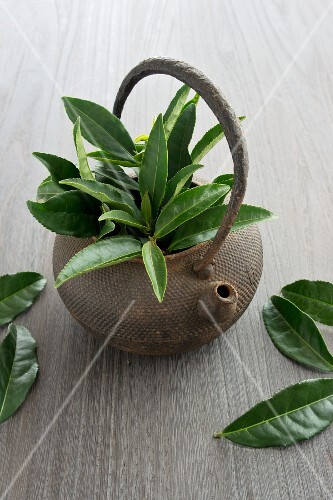 A teapot filled with tea leaves