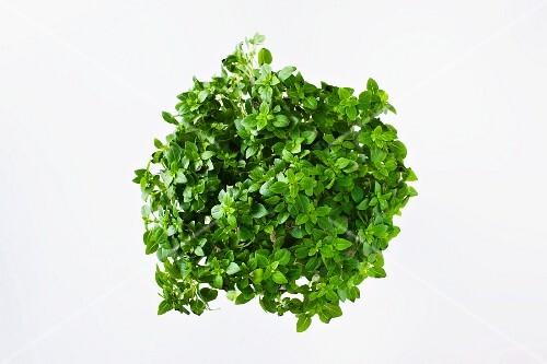 Fresh mini basil in a flower pot