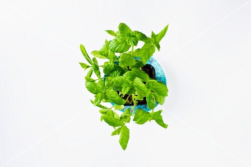 Fresh mint in a flowers pot