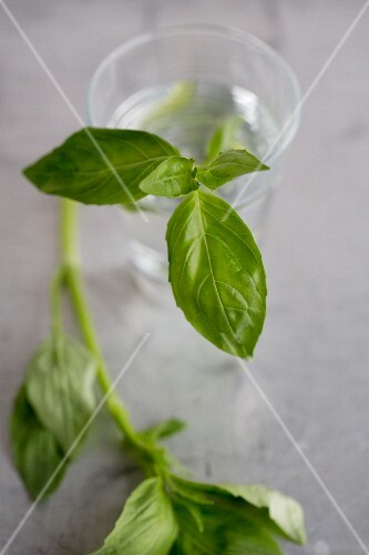 Fresh basil in a glass of water