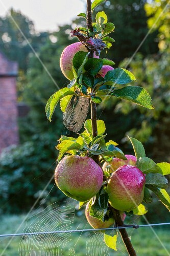 Spider webs on Bramley apples on a tree in early autumn (England)