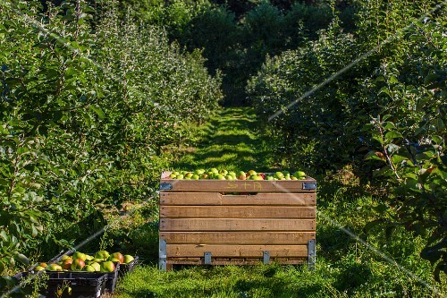 Freshly-picked Bramley apples in crates in an orchard (England)