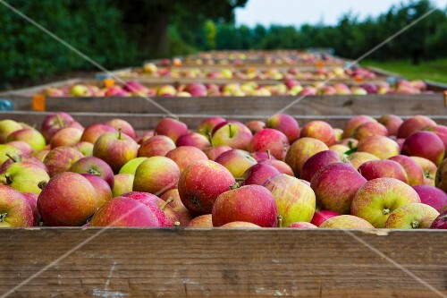 Freshly picked Cox apples in crates in an orchard (England)