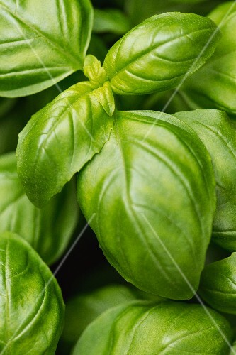 Basil (close-up)