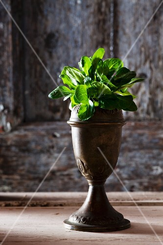 Organic lamb's lettuce in an old metal stand against a wooden wall