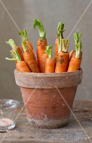 Freshly harvested carrots in a terracotta flowerpot