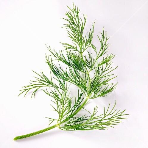 Fresh fennel leaves