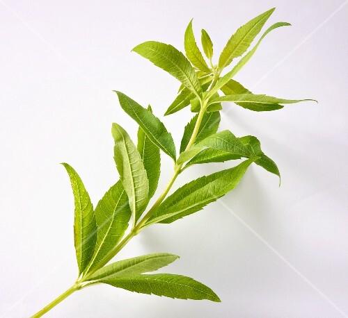 A sprig of lemon verbena