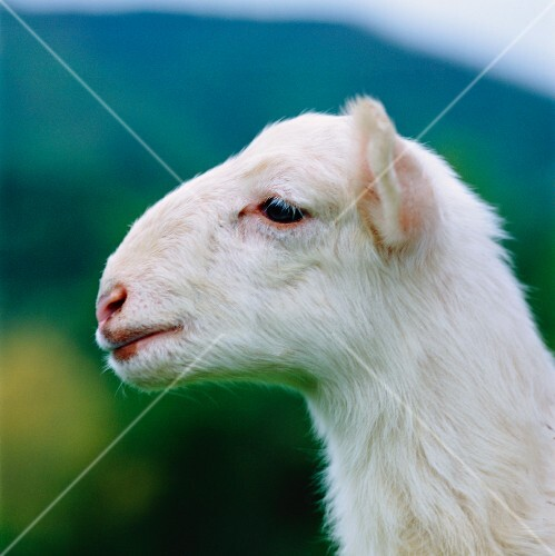 A lamb's head