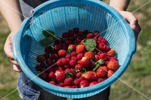 A person holding a plastic bowl filled with freshly picked raspberries and strawberries