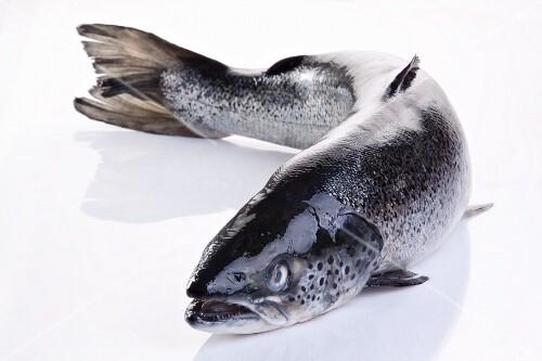 Whole fresh salmon