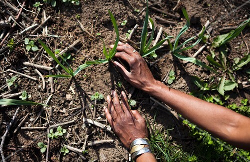 Hands picking fresh greens on a farm