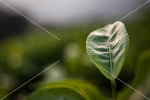 A tea leaf in Munnar (Southern India)