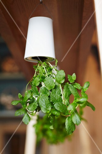 Green leafy plant growing in white plant pot hanging upside down