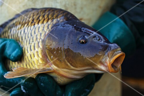 A fisherman holding a freshly caught carp