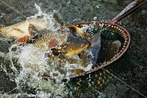 Freshly caught carp in a hand net