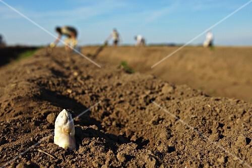 Spargelspitze sprießt aus der Erde im Spargelfeld mit Erntearbeitern