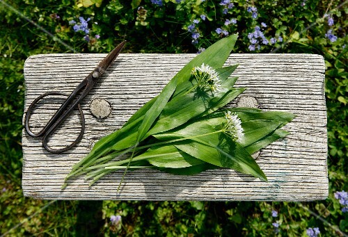 Fresh wild garlic and flowers on a wooden table in a garden