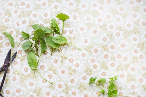 Fresh sorrel leaves, winter purslane and parsley with a pair of scissors on a vintage surface