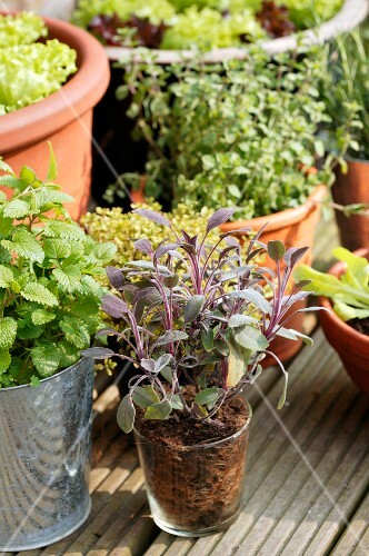 Various pots of herbs on a wooden terrace