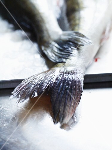 A zander fish tail