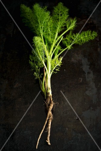 Fresh fennel with roots