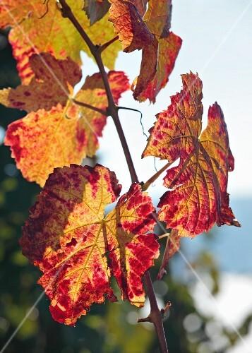 Autumnal vine leaves in sunshine