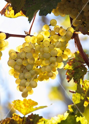 Golden Riesling grapes