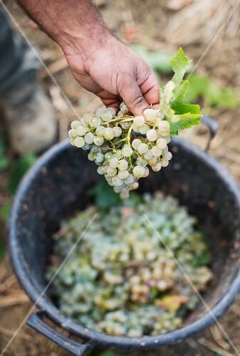 A worker sorting Grillo grapes, Regaleali vineyard, Tasca d'Almerita, Sicily