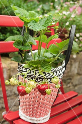 Strawberries planted in colourful plastic basket on red folding chair outdoors